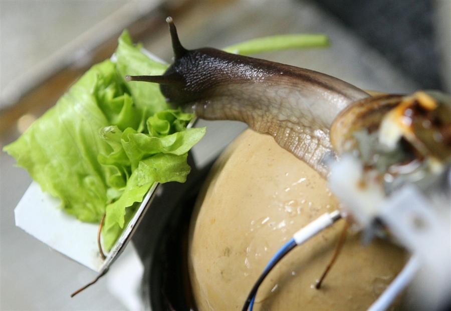 Что едят аквариумные улитки в домашних условиях