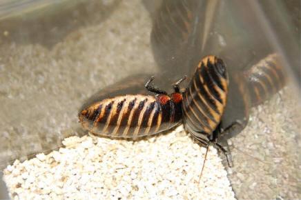 Мадагаскарские тараканы размножение
